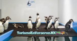 El Acuario de Veracruz abre al público el primer pingüinario de México