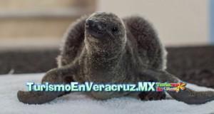 Pingüino #Jarocho crece sano en el #acuario de #Veracruz
